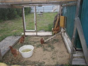 Курицы-несушки.
