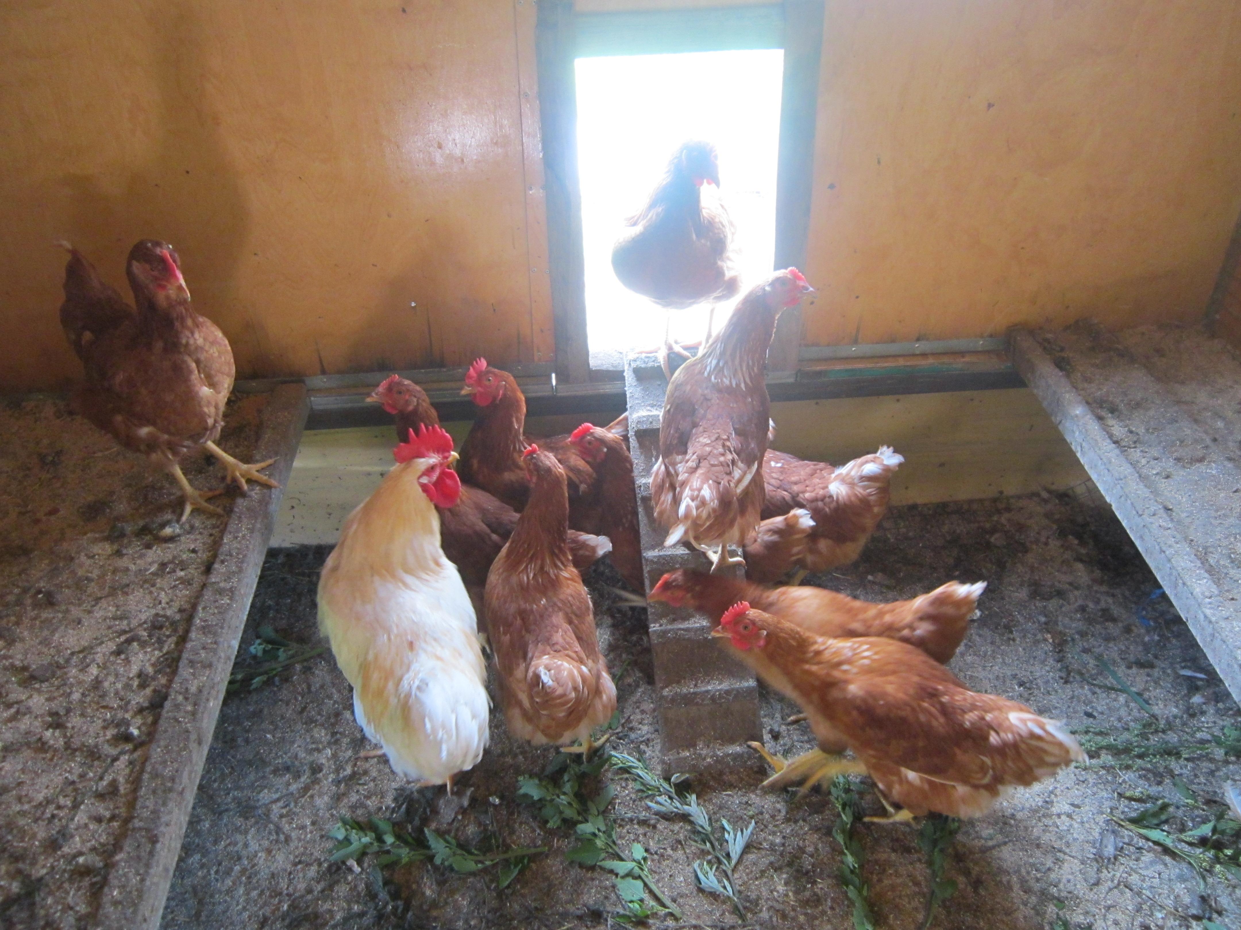 курицы начали нестись!