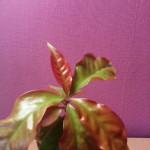 кактус переския